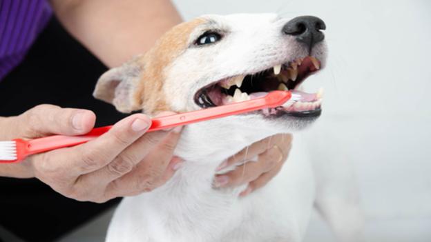 dog dental hygiene tips from steamboat animal hospital in olympia wa